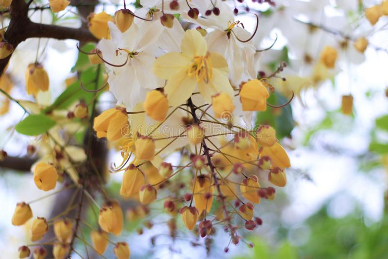 Flor del árbol de la ducha de arco iris o Ratchaphruek blanco imagen de archivo libre de regalías