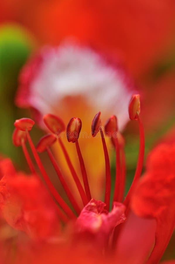 Flor del árbol de llama imagen de archivo libre de regalías