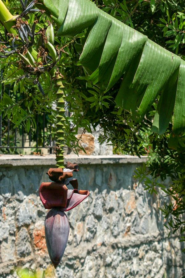 Flor del árbol de plátano y pequeños plátanos verdes D?a asoleado foto de archivo