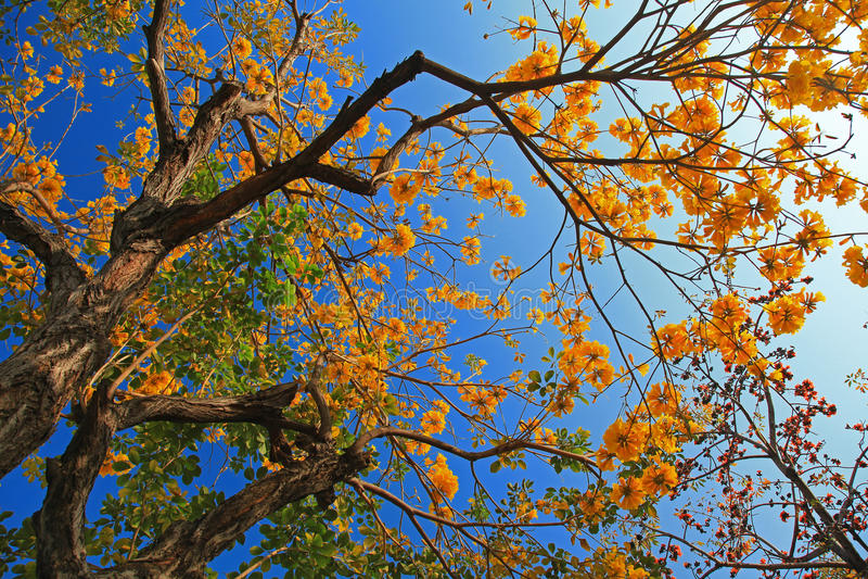 Flor del árbol del algodón de Tree& de la trompeta de oro fotografía de archivo libre de regalías