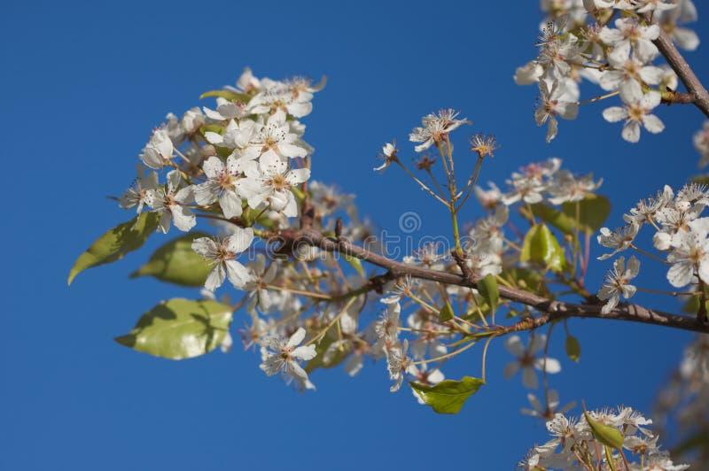 Flor del árbol floreciente del resorte foto de archivo libre de regalías