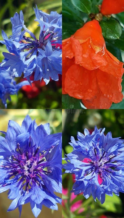 Flor del aciano y de la granada fotos de archivo libres de regalías
