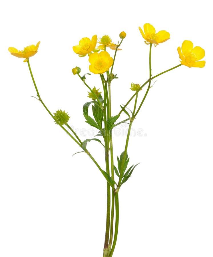 Flor del acris del ranúnculo del ranúnculo de prado fotos de archivo libres de regalías