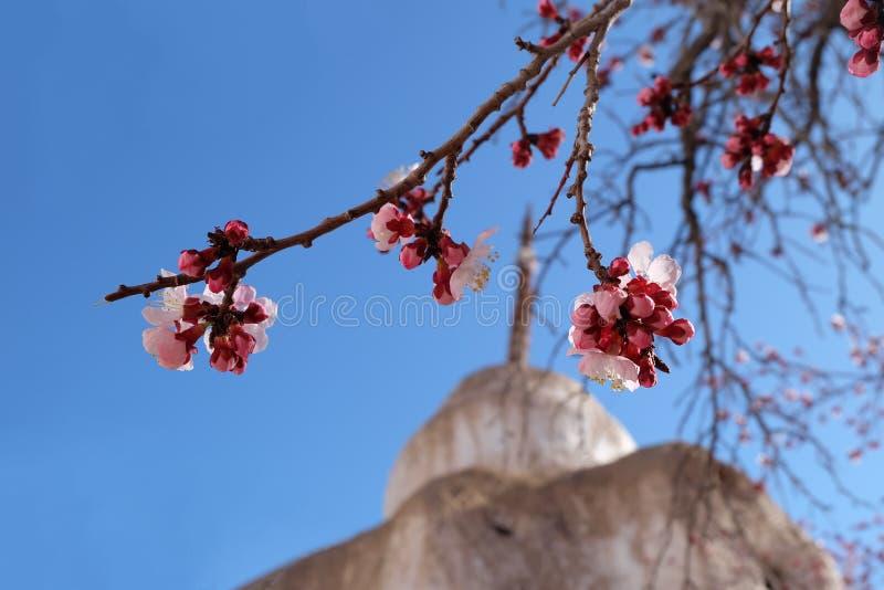 Flor del albaricoque en fondo del cielo azul y del stupa imagen de archivo