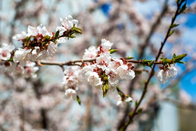 Flor del albaricoque flores blanco-rosadas en un ?rbol totalmente desnudo de la calma foto de archivo libre de regalías
