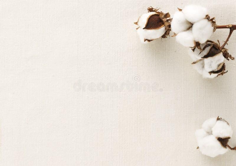 Flor del algodón fotos de archivo libres de regalías