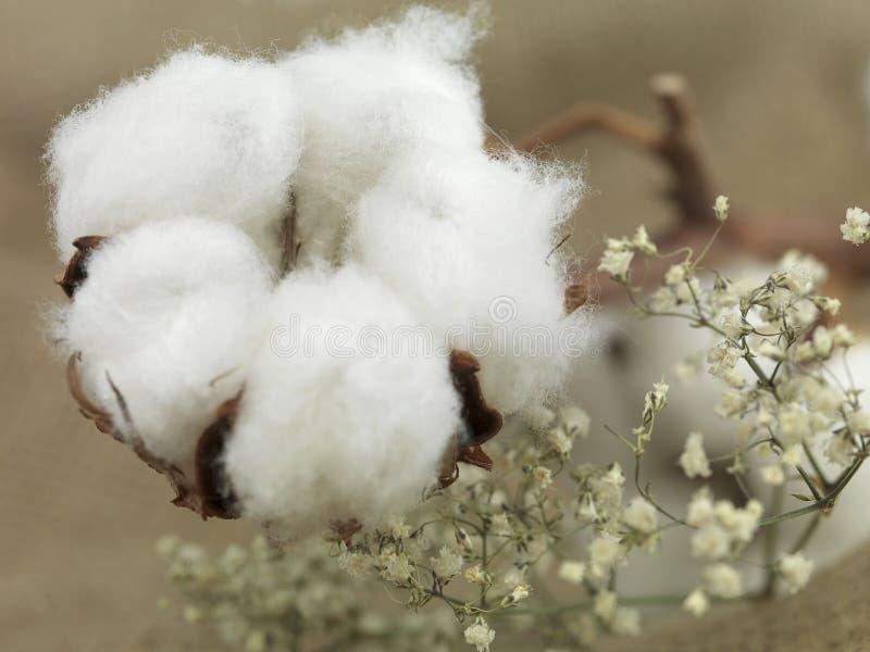 Flor del algodón imagenes de archivo
