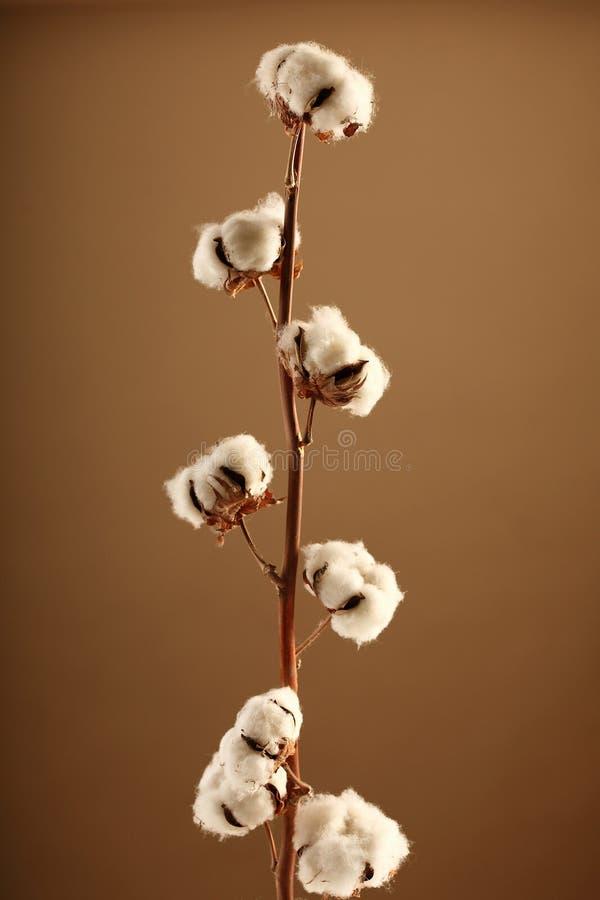 Flor del algodón foto de archivo libre de regalías