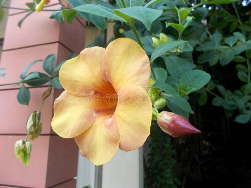 flor del allamanda fotografía de archivo libre de regalías