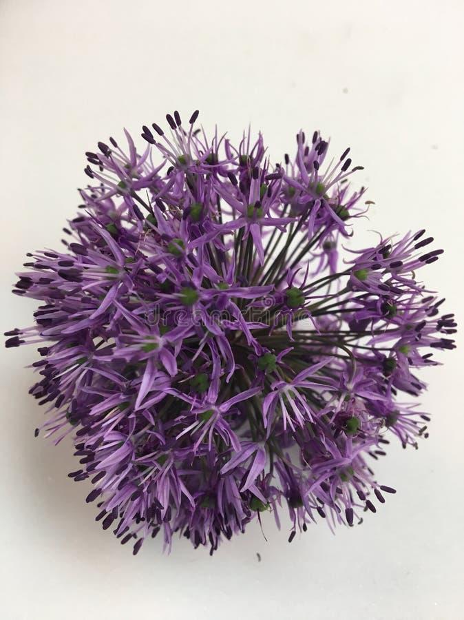 Flor del allium: belleza exquisita a los jardineros imagenes de archivo