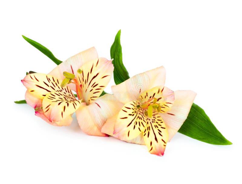 Flor del Alstroemeria aislada en blanco foto de archivo