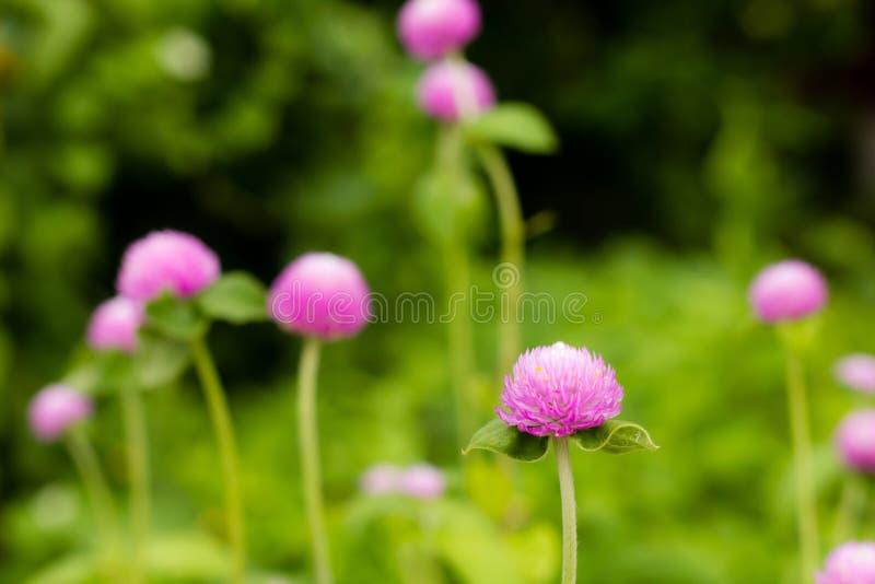 Flor del amaranto de globo imagen de archivo libre de regalías