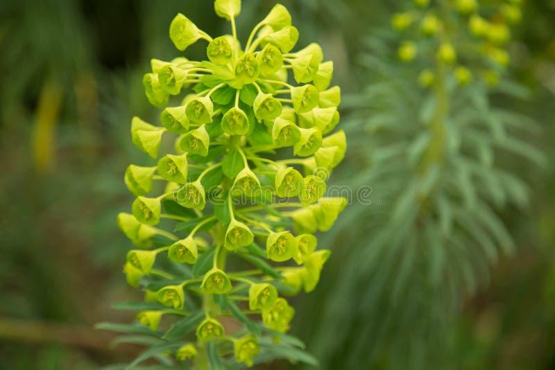 Flor del amarillo de la planta de los characias del euforbio foto de archivo libre de regalías