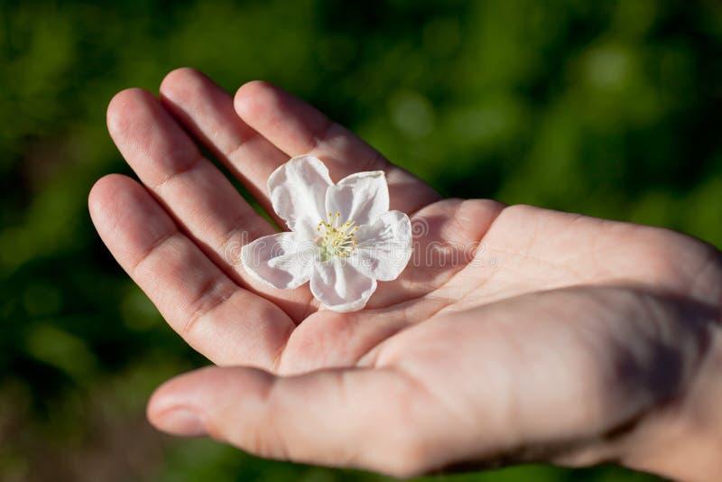 flor del Apple-árbol en la palma humana fotos de archivo