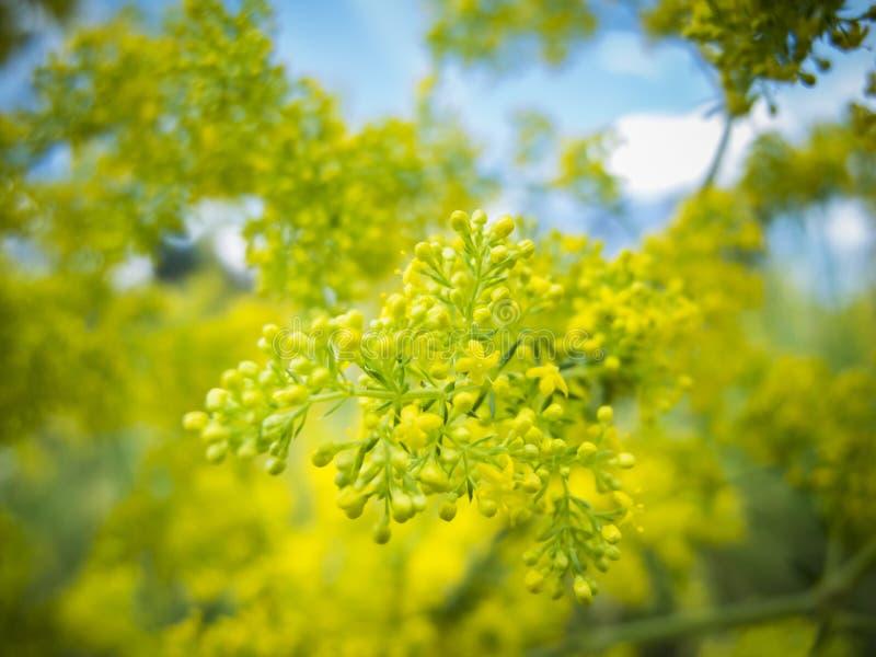 Flor del aquifolium del Mahonia imagen de archivo
