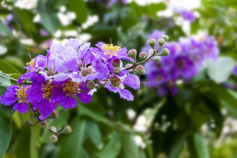 Flor del arbol de Jupiter de Queen's, speciosa Pers, la flor del Lagerstroemia de la reina en el parque o el bosque en tropical foto de archivo