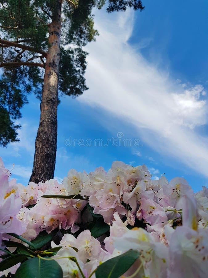 Flor del arbusto blanco del rododendro contra el cielo azul y el pino en el jardín botánico Fondo hermoso fotos de archivo libres de regalías