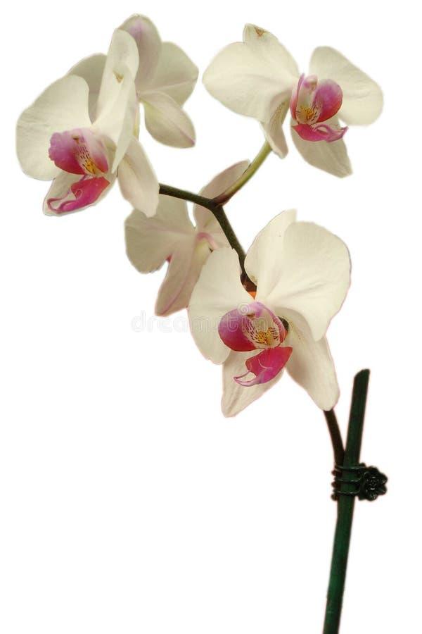 flor del Asiático-estilo imagenes de archivo