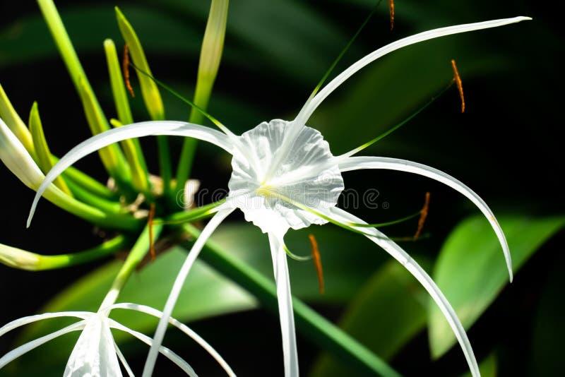 Flor del asiaticum de Crinum en el jardín foto de archivo