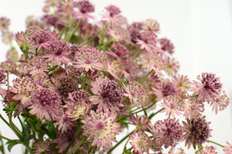 Flor del Astrantia en el fondo blanco fotografía de archivo libre de regalías