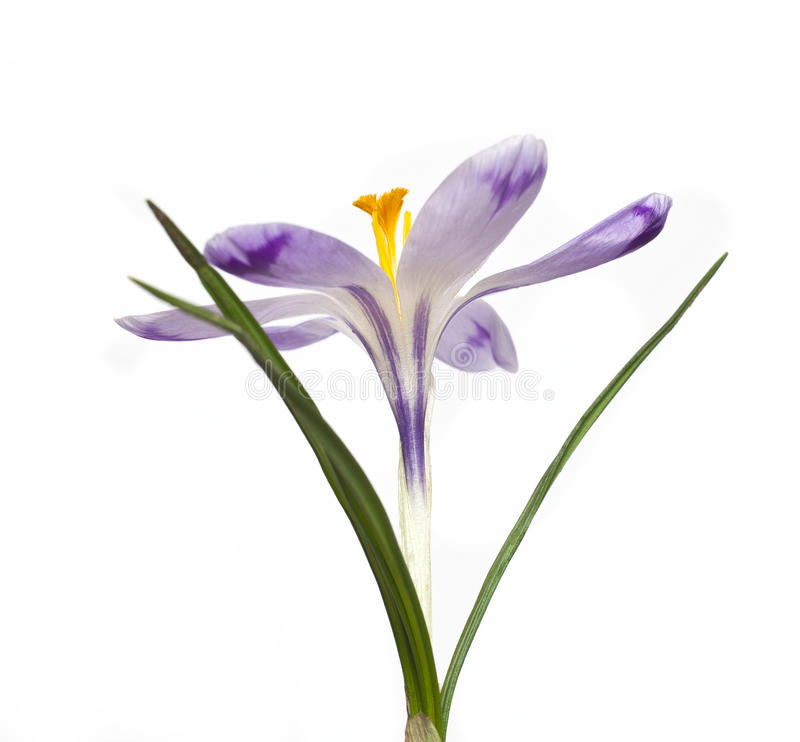 Flor del azafrán fotos de archivo