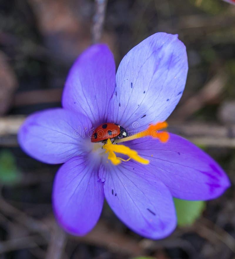 flor del azafrán con macro de la mariquita del insecto dentro fotografía de archivo