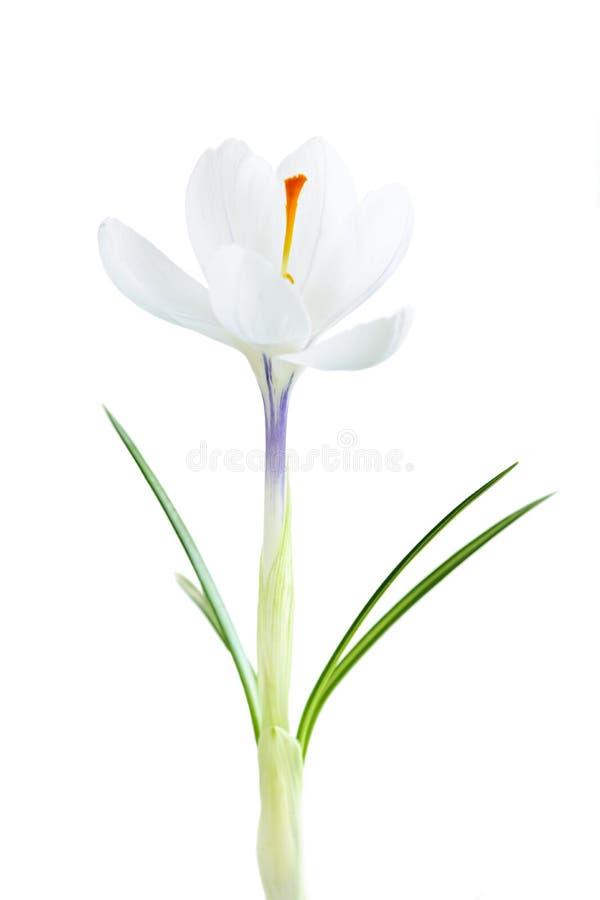 Flor del azafrán del resorte fotografía de archivo libre de regalías