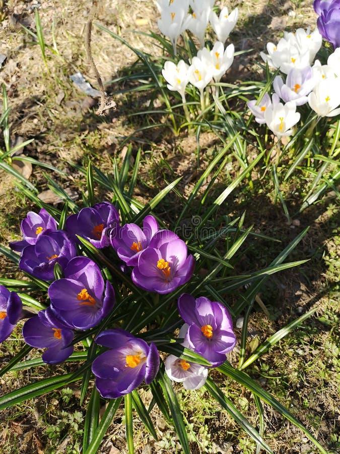 flor del azafrán púrpura y blanco imágenes de archivo libres de regalías