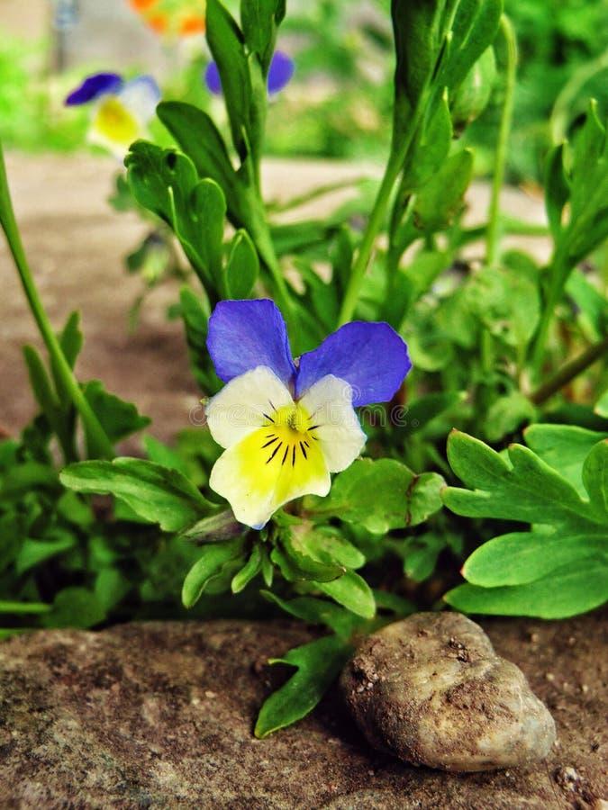 flor del Azul-corazón imagen de archivo libre de regalías