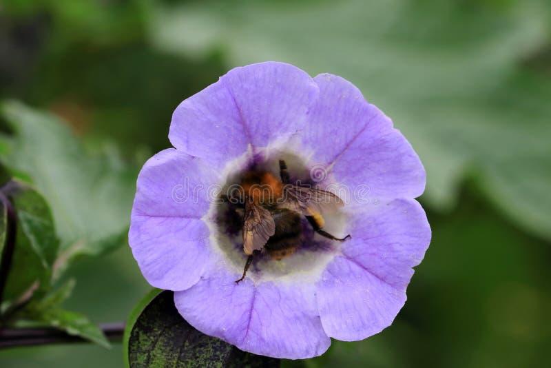 Flor del azulejo de Nolana con un abejorro fotografía de archivo