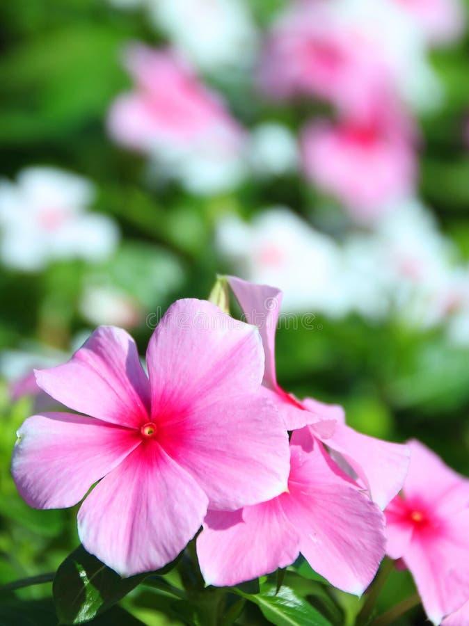 Flor del bígaro foto de archivo libre de regalías