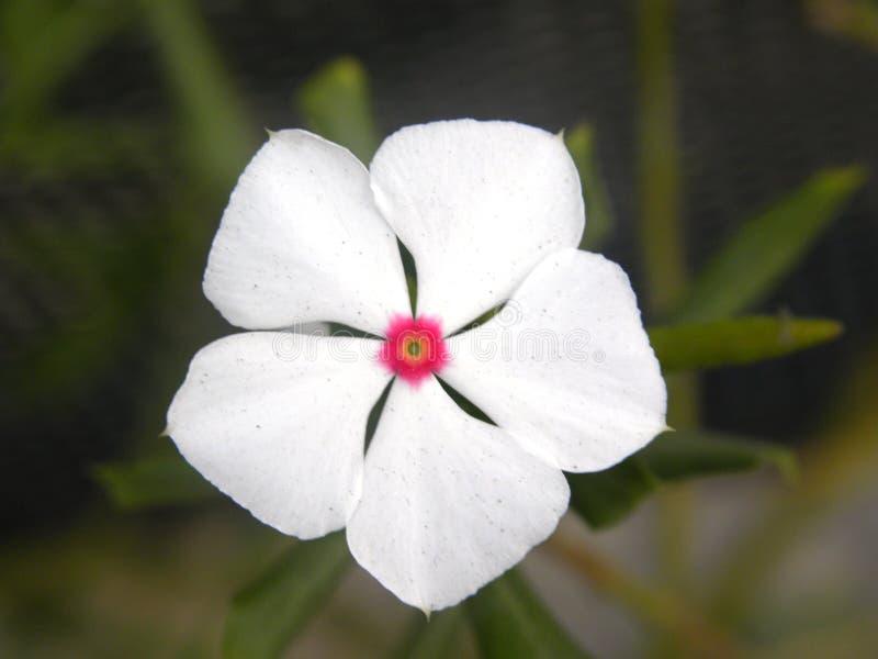 Flor del bígaro de Rose blanca fotos de archivo libres de regalías