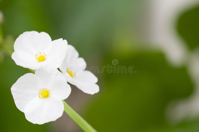 Flor del bebé del fango de Tejas imágenes de archivo libres de regalías