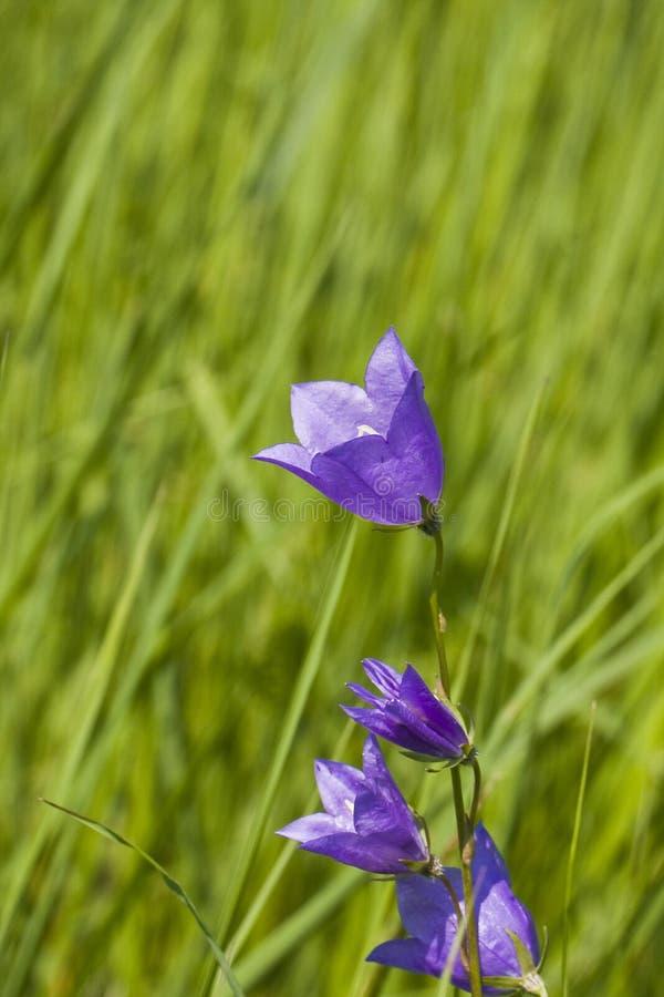 Flor del Bluebell en hierba verde foto de archivo