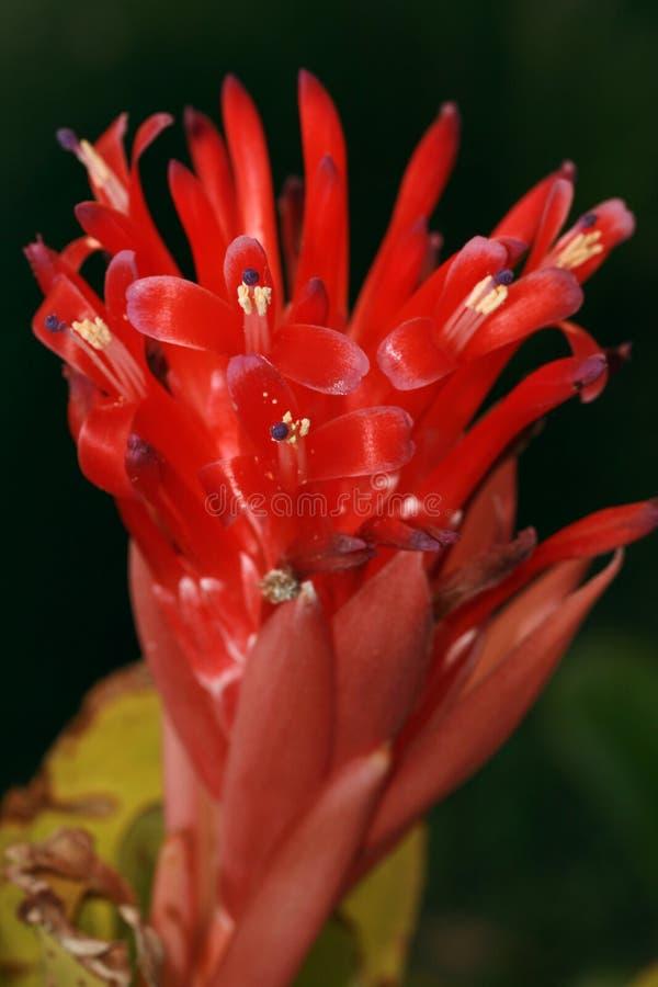 Flor del Bromelia fotografía de archivo