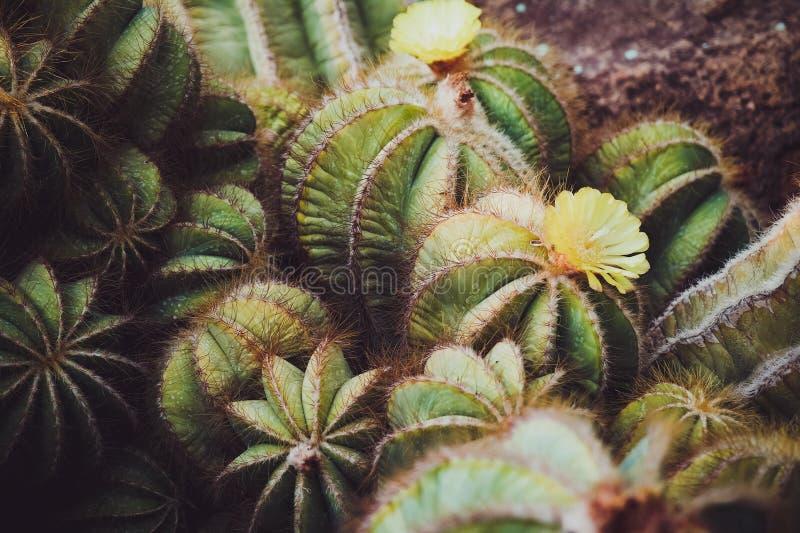 Flor 2 del cactus fotos de archivo libres de regalías