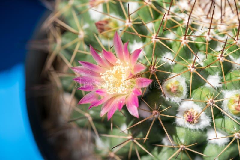 Flor del cactus imágenes de archivo libres de regalías