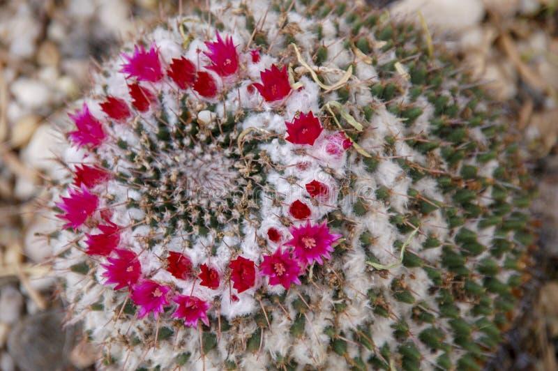 Flor del cactus del desierto o floración salvaje de los cactus fotografía de archivo