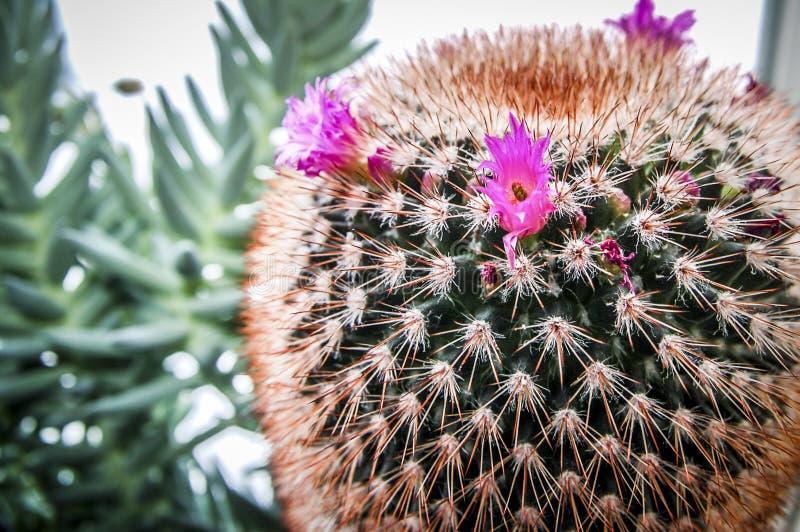 Flor del cactus del desierto o floración salvaje de los cactus imagen de archivo