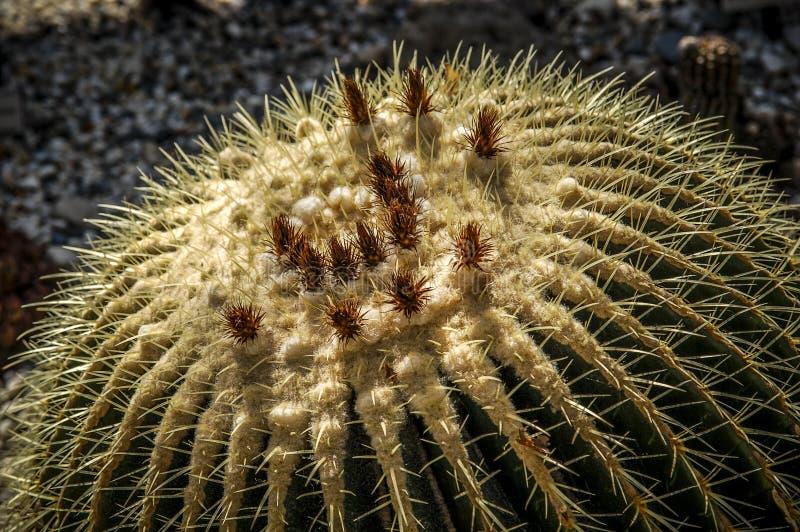 Flor del cactus del desierto o floración salvaje de los cactus fotos de archivo