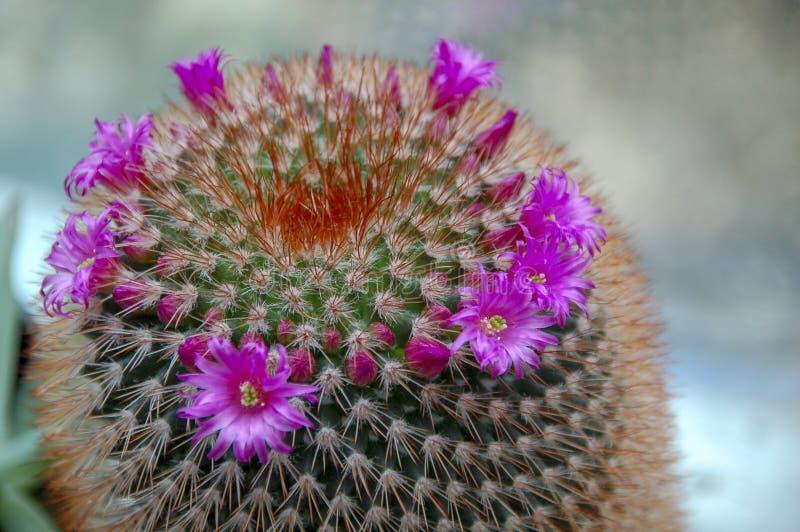 Flor del cactus del desierto o floración salvaje de los cactus fotografía de archivo libre de regalías