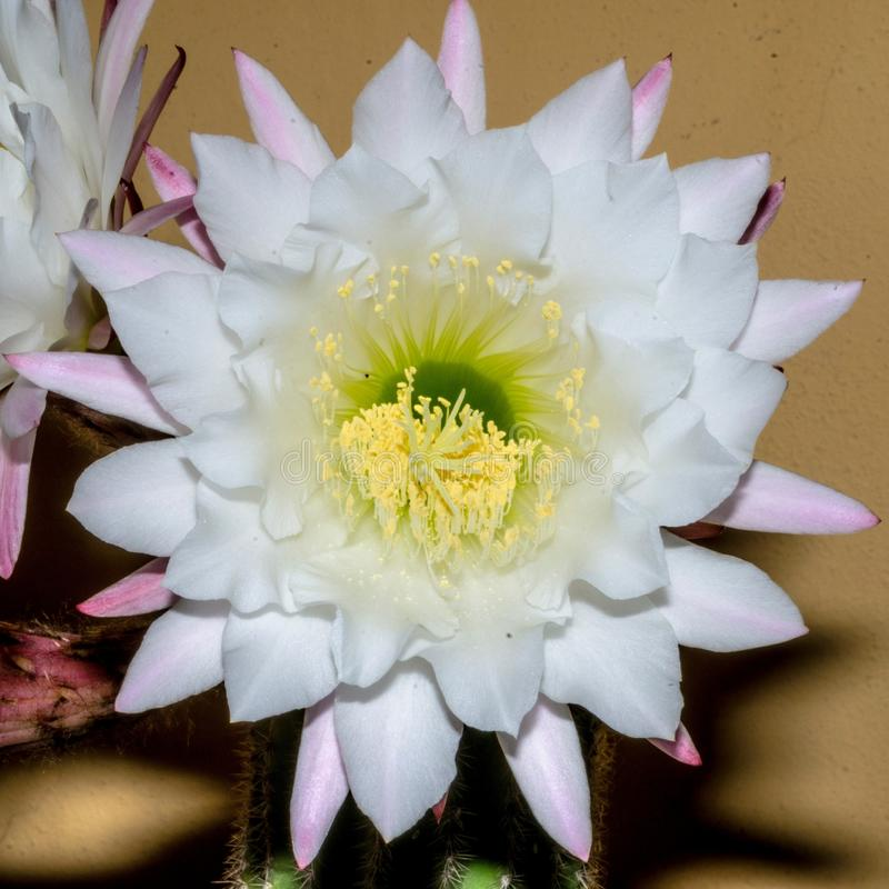 Flor del cactus en el primero plano foto de archivo