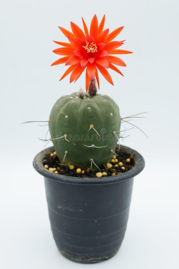 Flor del cactus: Madisoniorum de Matucana fotos de archivo libres de regalías