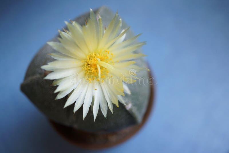 Flor del cactus: Myriostigma de Astrophytum 3 costillas fotografía de archivo