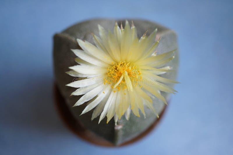 Flor del cactus: Myriostigma de Astrophytum 3 costillas fotos de archivo