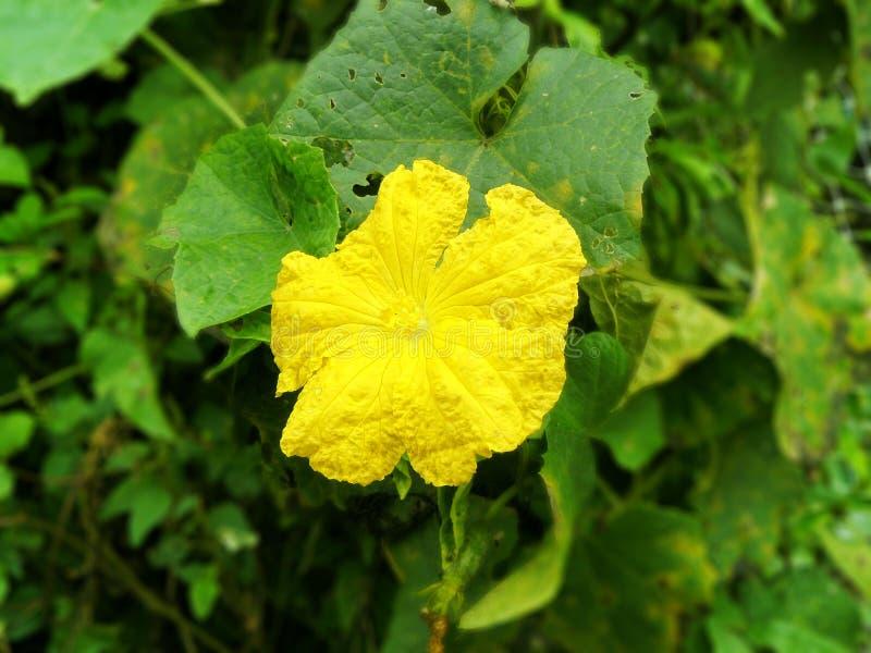 Flor del calabacín imagenes de archivo