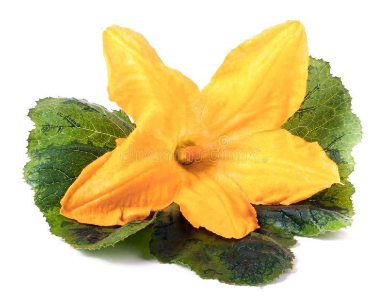 Flor del calabacín con la hoja aislada en la macro blanca del fondo imágenes de archivo libres de regalías
