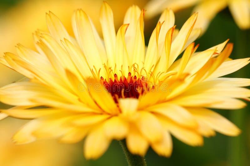 Flor del Calendula imagen de archivo
