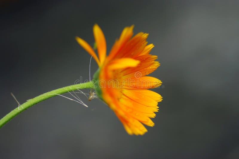 Flor del Calendula que dobla a través de un fondo gris fotos de archivo libres de regalías