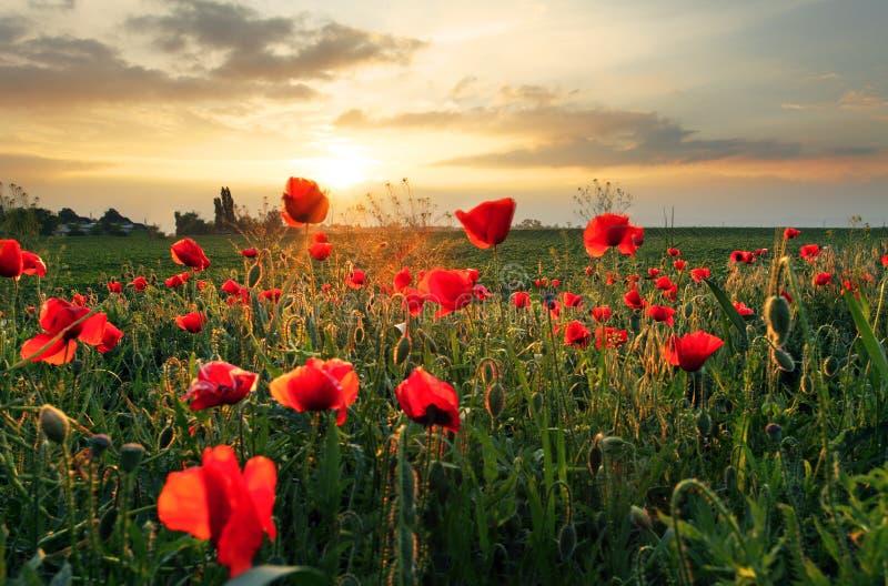 Flor del campo de las amapolas en puesta del sol foto de archivo